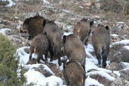Jabalís en la Sierra de Albarracín