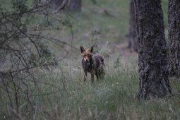 Zorros en la Sierra de Albarracín