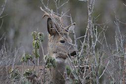 Ciervos jóvenes en Bronchales